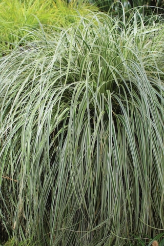 Carex grasses gently whisper and rustle in the wind, just enough to make your Quiet Garden soothe you into a peaceful state of mind.