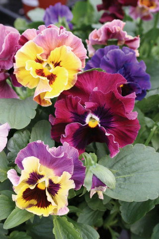 With boldly bicolored faces, Pansies are sure to inspire smiles of pure happiness in your Garden of Joy.