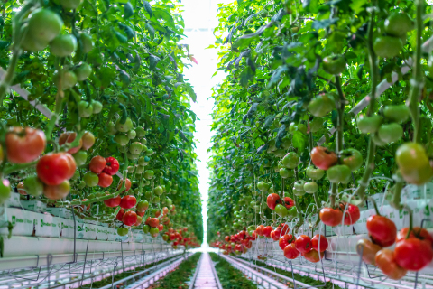 AppHarvest's Beefsteak tomatoes are chemical pesticide-free, non-GMO and are grown with 100% recycled rainwater. (Photo: Business Wire)