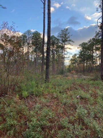 A longleaf forest in North Carolina from which Enviva purchased trees thinned as part of the ecological restoration of the stand. (Photo: Business Wire)