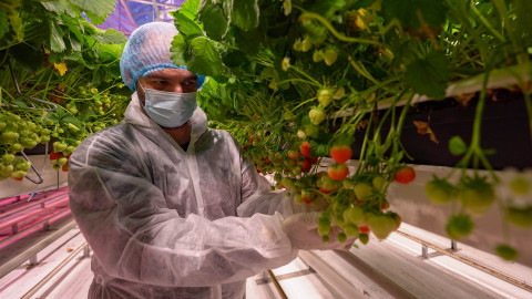 Fluence trial examines best practices for efficiently growing strawberries in a controlled environment. (Photo: Business Wire)
