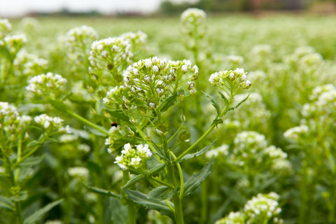 Danimer Scientific and the University of Minnesota's Forever Green Initiative will research pennycress oil as a potential feedstock material for producing polyhydroxyalkanoate (PHA), a biodegradable, eco-friendly alternative to traditional plastic. (Photo: Business Wire)