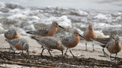 Atlantic Shores Offshore Wind collaborates on a second survey of the red knots migration. (Photo: Business Wire)
