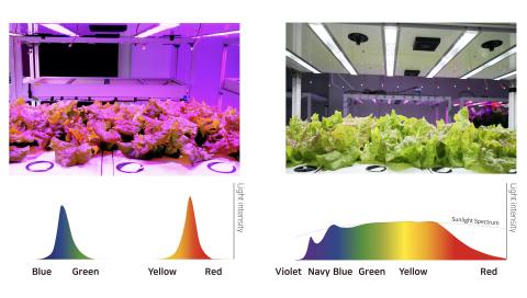 赤色/青色LED照明とSunLike太陽光スペクトラムLEDで育てたレタスの比較実験(画像:ビジネスワイヤ)