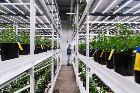 Fluence's LED lighting technology illuminates cannabis crops in Proper's cultivation facility. Photo courtesy of Proper Cannabis.