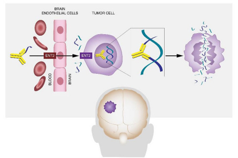 The antibody PAT-DX1 acts by a unique mechanism to cross the blood brain barrier and kill brain cancer cells and metastases, reducing tumor size and increasing survival. (Graphic: Business Wire)