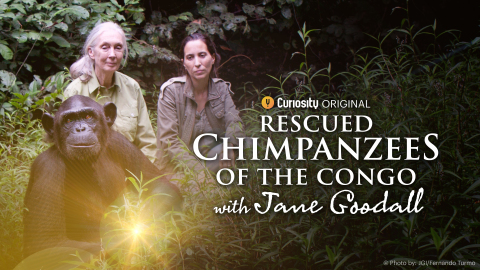 CuriosityStream Celebrates World Chimpanzee Day with July 14th Premiere of Original New Series 'Rescued Chimpanzees of the Congo with Jane Goodall' (Photo: Business Wire)