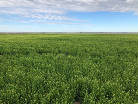 GCEH 2021 Montana Sustainable Oils Camelina field (Photo: Business Wire)