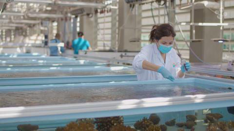 KAUST Marine Scientist Dr. Raquel Peixoto administers probiotics, or Beneficial Microorganisms for Corals (BMC), to Pocillopora verrucosa coral in controlled aquarium environments. (Photo: KAUST)