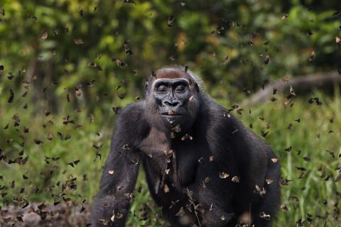 Um gorila fêmea das planícies ocidentais chamada 'Malui' caminha por uma nuvem de borboletas. Bai Hokou, Reserva Florestal de Dzanga Sangha, República Centro-Africana. ©Anup Shah/TNC Photo Contest 2021.
